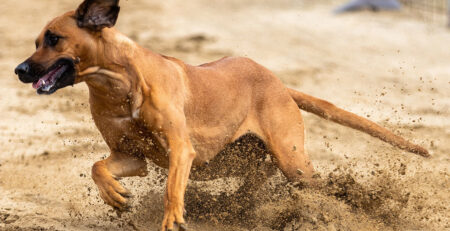 Breeding Ridgebacks - How to improve ridges, decrease ridgeless puppies, and avoid dermoid sinus