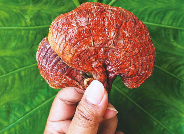 Reishi – The Immortality Mushroom